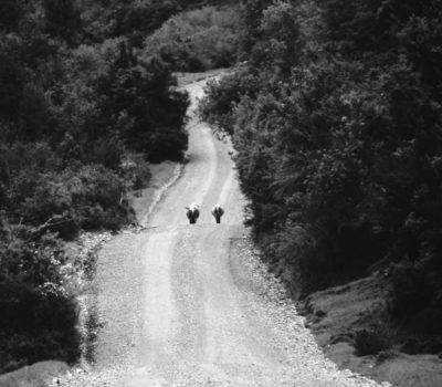 strada mucche